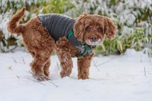 bailey dog in her thundershirt